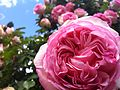 Pink Roses at the International Rose Test Garden in Portland, Oregon.JPG