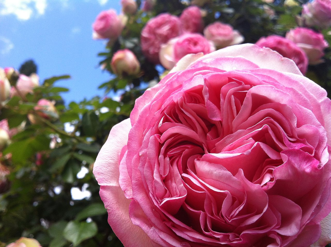 Roses In Garden: File:Pink Roses At The International Rose Test Garden In