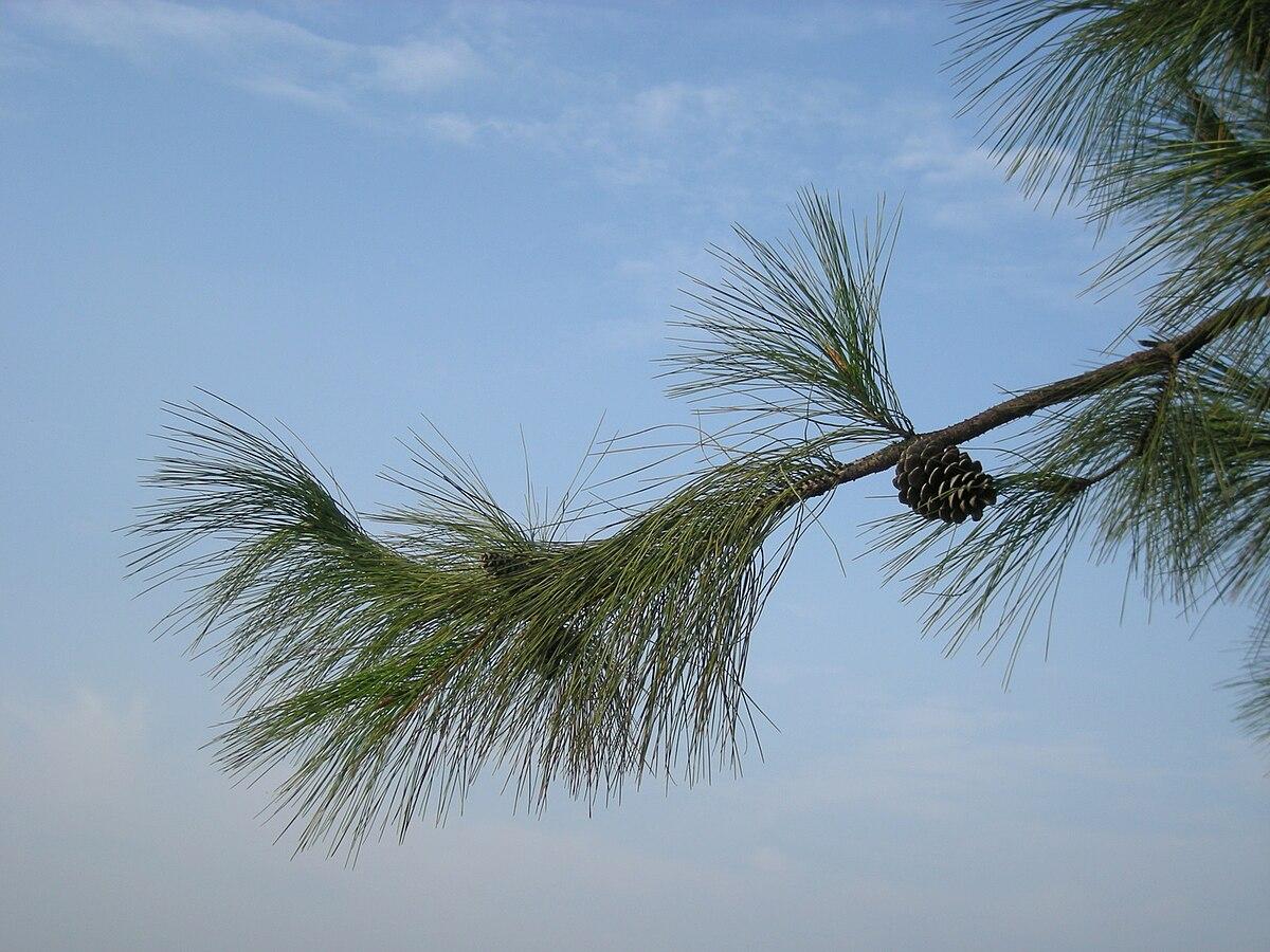 horsetail pine - Wikti...