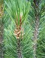 Pinus mugo pollencones Bulgaria.jpg