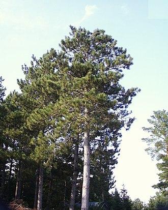 Pinus resinosa - Trees at Sherburne NWR, Minnesota