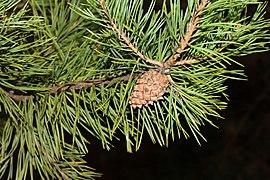 Pinus sylvestris 2020 G2.jpg