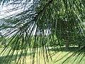 Pinus taeda 11zz.jpg