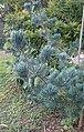 Pinus wangii subsp kwangtungensis kz2.jpg