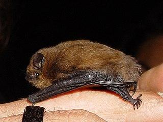 Common pipistrelle species of mammal
