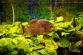 Piranha at Riga Zoo (13945117836).jpg