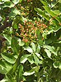 Pistacia terebinthus RF.jpg