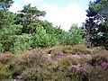 Plailly, bois de Morrière, Pierre Monconseil, landes.jpg