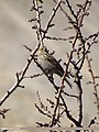 Plain Mountain Finch (Leucosticte nemoricola) (15271950034).jpg
