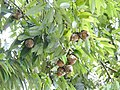 Plant Mesua ferrea fruits DSCN8774 03.jpg