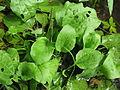 Plantago major plant2 (14756320397).jpg