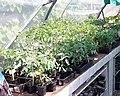 Plants de tomates.jpg