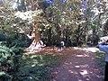 Platanus × acerifolia.jpg