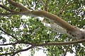 Platanus × acerifolia - Platan (3)adfga.jpg