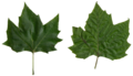 Platanus scanned leaves.png