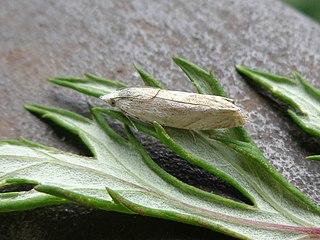 <i>Platytes cerussella</i> Species of moth