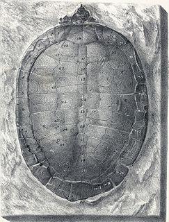 <i>Pleurosternon</i> genus of reptiles