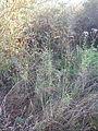 Poa palustris (21519315290).jpg