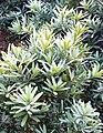 Podocarpus latifolius - Cape Town - 2.JPG