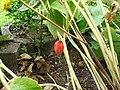 Podophyllum hexandrum ripe fruit early autumn.jpg