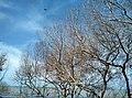 Pohon Ranggas dan Langit Biru di Pantai Muara Beting.jpg