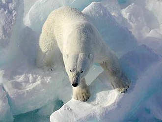 Polar bear - Polar bears have evolved adaptations for Arctic life. For example, large furry feet and short, sharp, stocky claws give them good traction on ice.