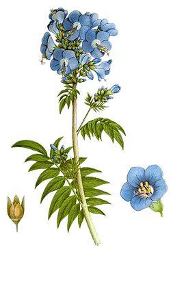 Polemonium caeruleum nf.jpg