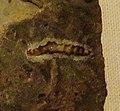 Polyacrodus polycyphus.jpg