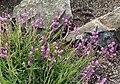 Polygala vulgaris 2.jpg
