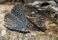 Polyommatus myrrha - Çokgözlü Büyük Turanmavisi 02.jpg