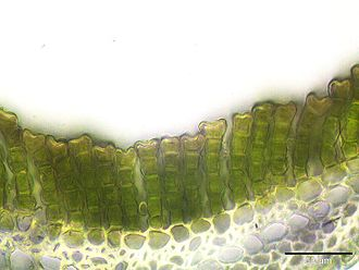 Polytrichum commune - Cross section of a leaf showing parallel photosynthetic lamellae at 400x magnification. The green cells contain chloroplasts.