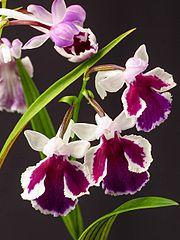 Ponerorchis graminifolia (34477576983).jpg