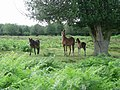 Ponies under holly - geograph.org.uk - 226303.jpg