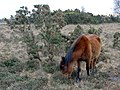 Pony grazing on Hilltop Heath, New Forest - geograph.org.uk - 323439.jpg