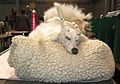 Poodle taking a nap (8652870362).jpg