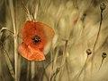 Poppy, Spain (Unsplash).jpg