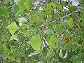 Populus nigra (4998507297).jpg
