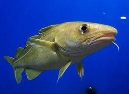 Portrait of Cod