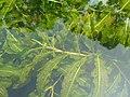 Potamogeton dentatus1.jpg