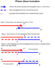 File Primer Dimers Formation En Png Wikimedia Commons