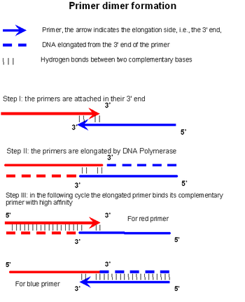 mechanism of primer dimer formation and amplification