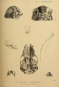 Proceedings of the Zoological Society of London (Mammalia Plate LXV) (7630004594).jpg
