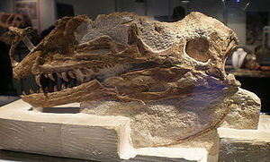 Proceratosaurus - Holotype skull, Munich