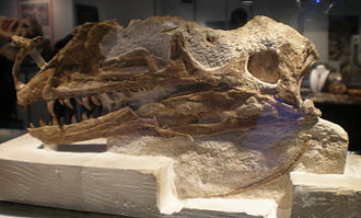 Tyrannosauroidea - Skull of Proceratosaurus, a proceratosaurid from the Middle Jurassic of England.