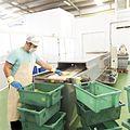 Proceso de extracción del gel de Aloe Vera Ecológico de Lanzaloe.jpg