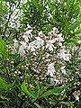 Prostranthera lasianthos (7578001896).jpg