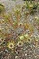 Protea scolymocephala kz3.jpg