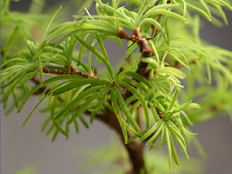 Pseudolarix - Close-up of leaves