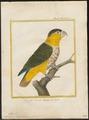 Psittacus melanocephalus - 1700-1880 - Print - Iconographia Zoologica - Special Collections University of Amsterdam - UBA01 IZ18600071.tif