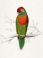 Psitteuteles versicolor by Edward Lear (cropped).jpg